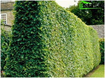 The wall of hornbeam