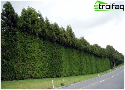 The result of partial cutting hedge