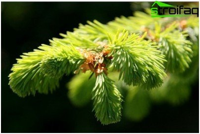 conifer needle extract