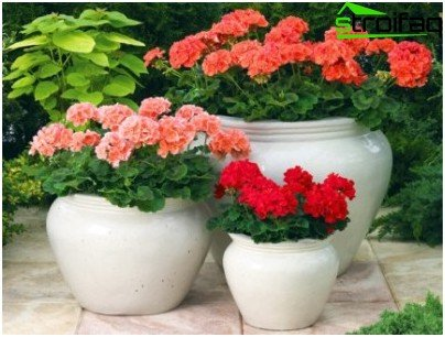 Pelargonium in pots