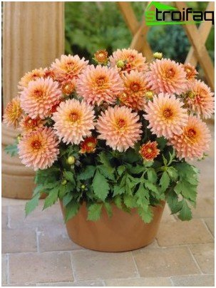 dahlias in pots