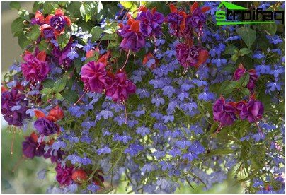 lobelia and fuchsia