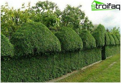 Yew Fence