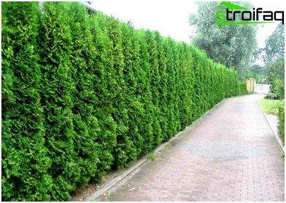 Coniferous high wall