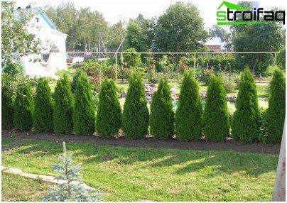 Spruce fence