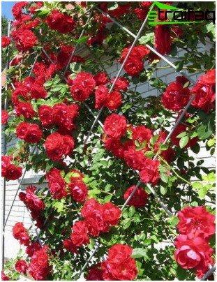 Катереща роза