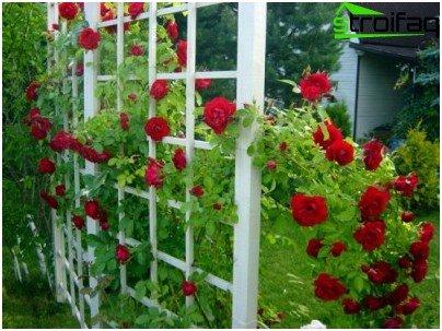 espalie til roser