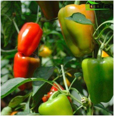 hydroponic pepper