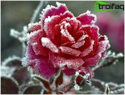 rozen in de winter