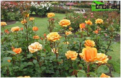 plek voor rozen