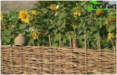 sunflowers near the gazebo