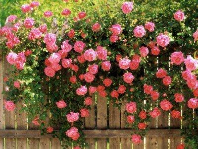 Есенна грижа за градински рози: характеристики на обличане и увиване на храсти за зимата